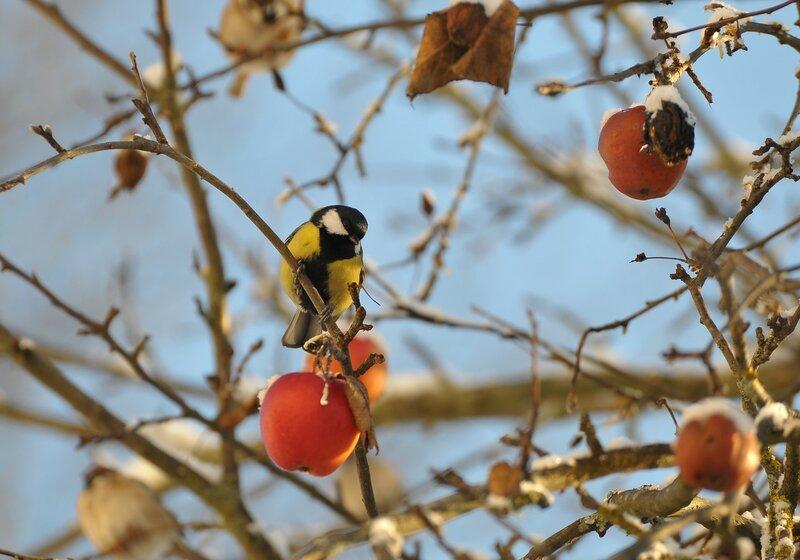 winter_apples.jpg