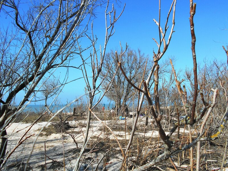 Ветви, в лесу на косе ... DSCN4419.JPG