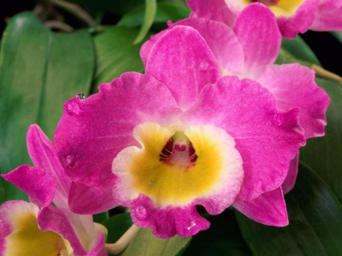 малиновий квітка