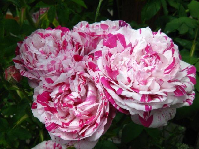 Двоколірні троянди