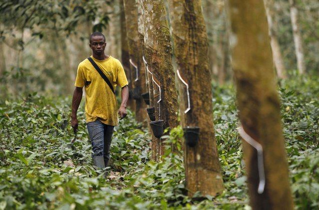 A worker walks down a row of rubber trees as he prepares to collects rubber sap at a farm in Songon