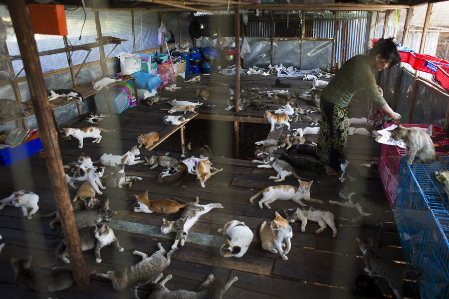 Aye Aye Maw, owner of the shelter, working among cats on the outskirts of Yangon, Burma, on February