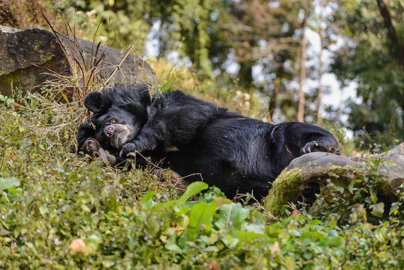 Фото 12. Гималайский медведь в зоопарке Padmaja Naidu Himalayan Zoological Park в городе Дарджилинг штата Западная Бенгалия. Отчеты туристов о поездке в Индию самостоятельно. 1/250, 4.8, 400, 112.