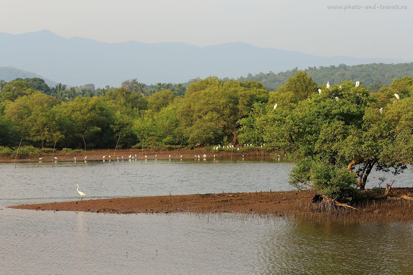 Фото 8. Цапли на берегу реки Талпона. Чем заняться во время отдыха на Южном Гоа. Отзыв туристов о путешествии в Индию (70-200, 1/320, -1eV, f8, 97 mm, ISO 100)