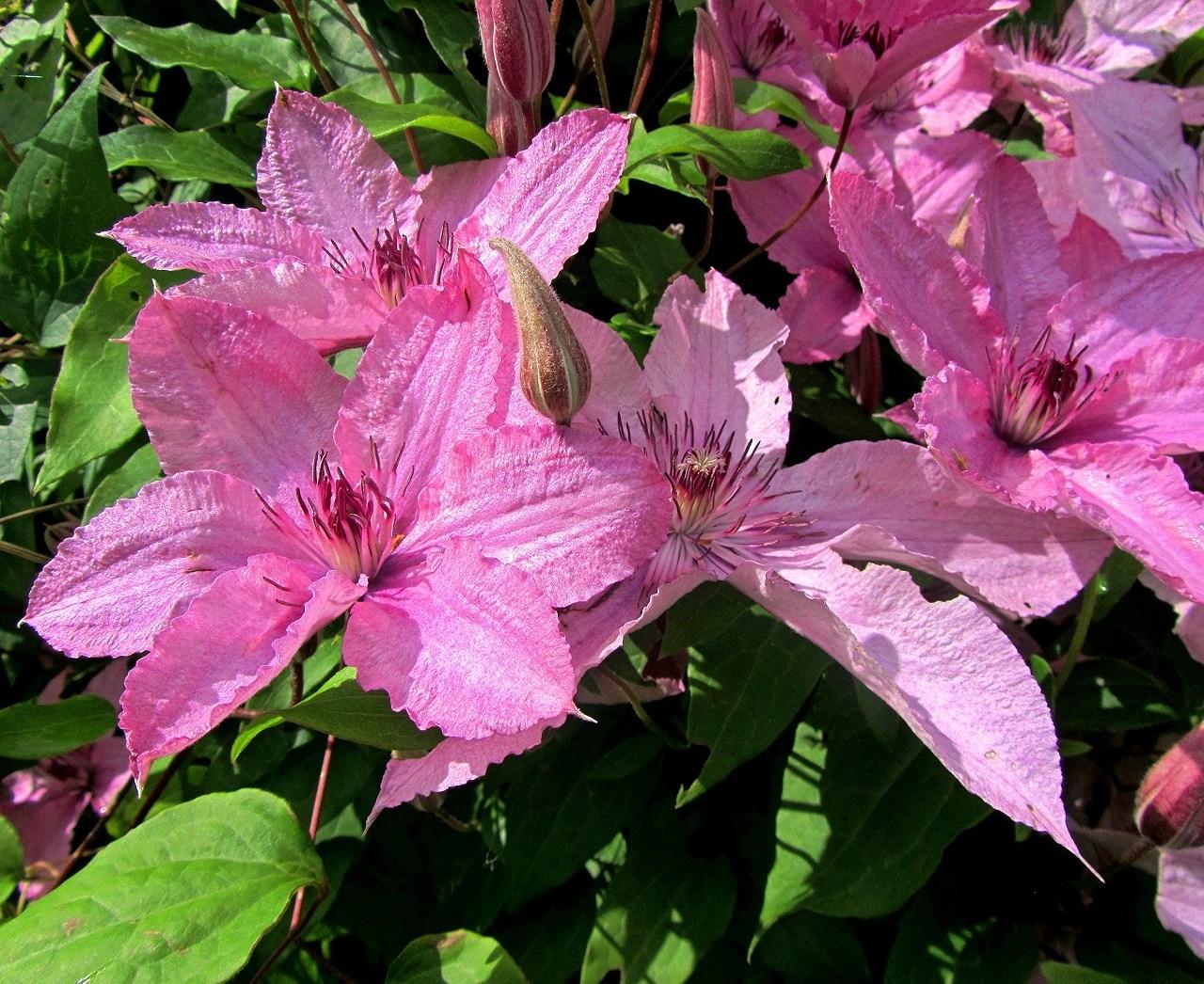 Клематис розовый