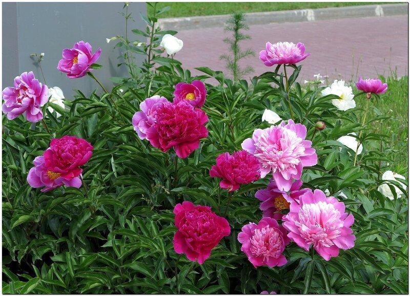 Пионы в цвету.