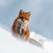 Лиса на снегу