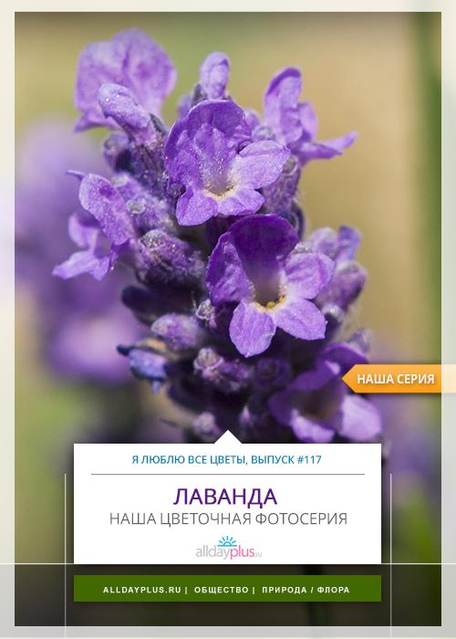 Я люблю все цветы, выпуск 117 | Лаванда - королева ароматерапии.