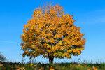 Осенний клён..jpg