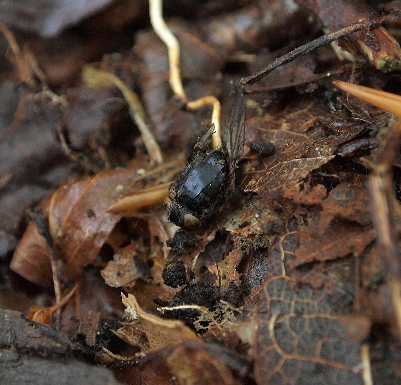 Зомбирование в природе: Гриб, управляющий насекомыми Насекомые