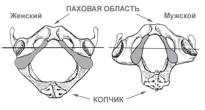 Рисунок 4_Седалищные кости