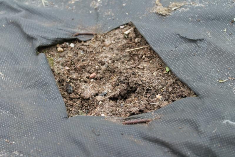 Клубника-Посадка рассады или кустов клубники под спанбонд