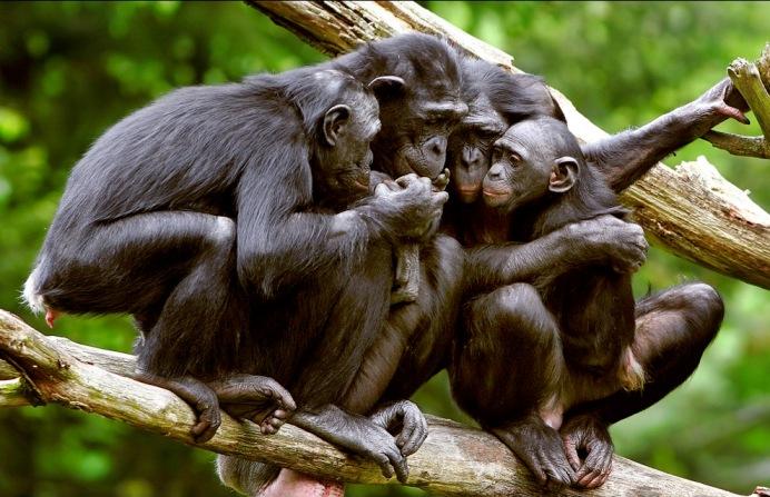 шимпанзе на дереве