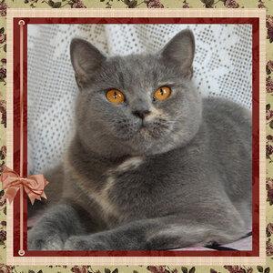 БравоБРИ Аврора g британская короткошерстная кошка голубого черепахового окраса