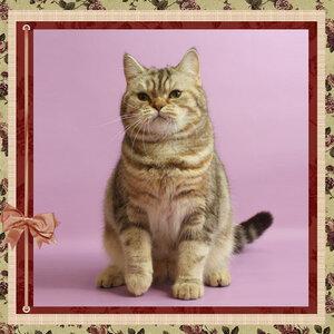 БравоБРИ Наринэ bs22 британская короткошерстная кошка лилового серебристого мраморного окраса