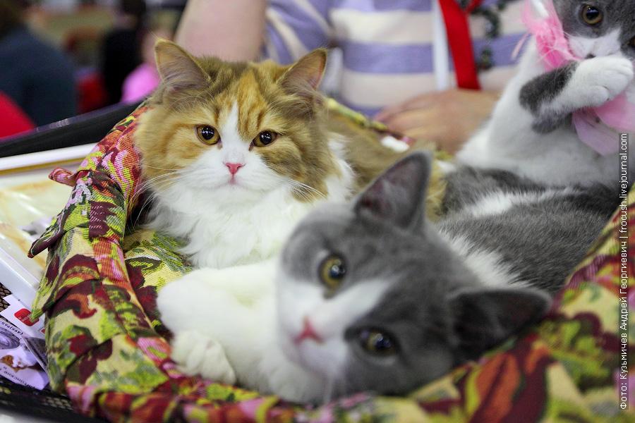 выставка кошек «Содружество»