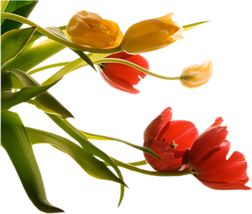 тюльпаны_Tulips (3).png