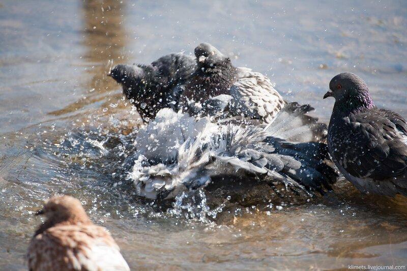 Весенние купания голубей в лужах