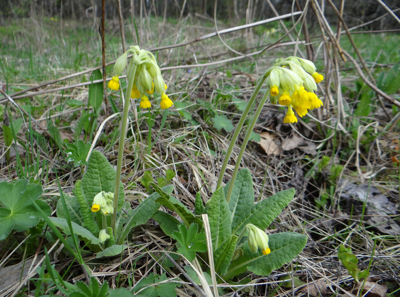 Первоцвет весенний (Primula veris) Автор фото: Привалова Марина