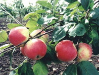 Мичуринские яблоки…
