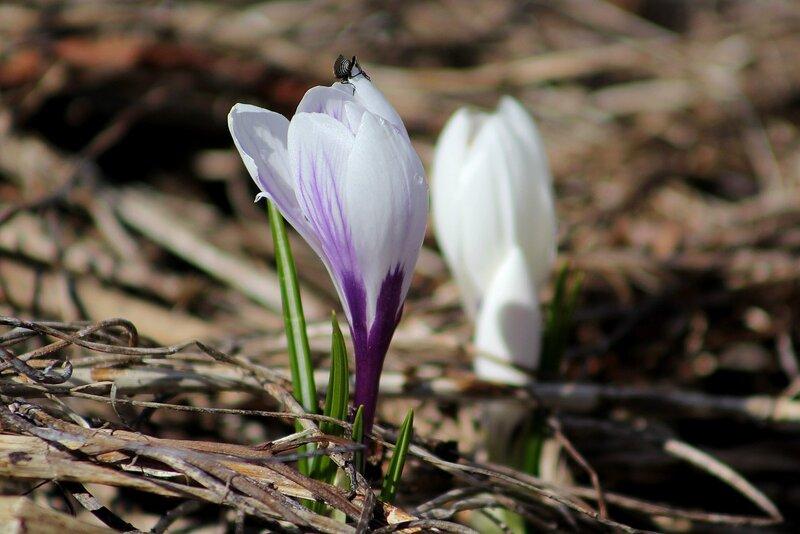 Крокус (шафран) весенний (Crocus vernus)