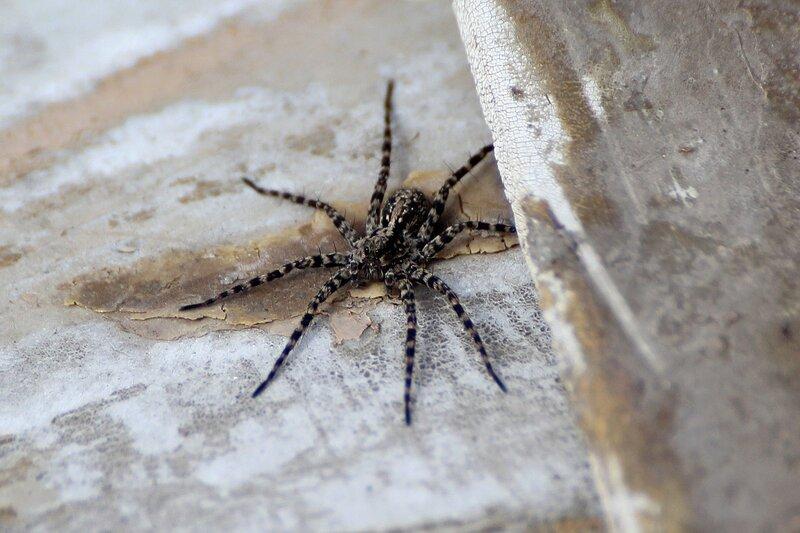паук-волк с полосатыми мохнатыми ногами