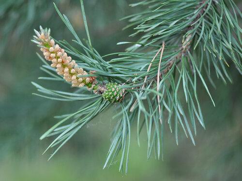 Сосна обыкновенная (Pinus sylvestris) Автор: Владимир Брюхов