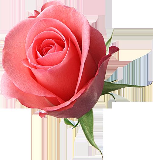 Цветочный клипарт Розы на прозрачном фоне: новая коллекция