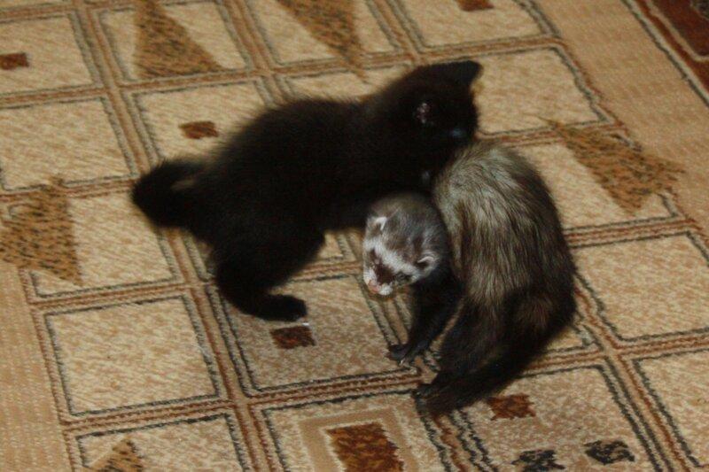 хорек и кошка