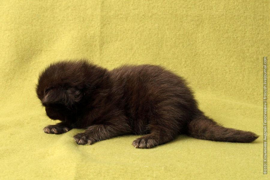 мальчик котенок мейн кун двухнедельный