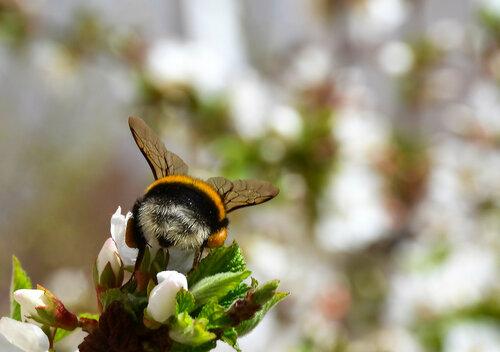 весна, шмель, шмель повернулся попкой, природа, насекомые, растения, Красноярск, Академгородок