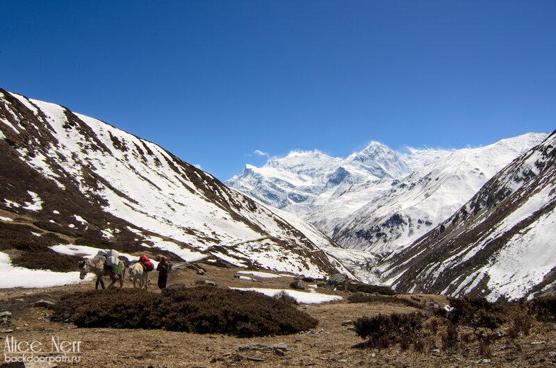 горы, непал, гималаи, лошади в горах, снежники