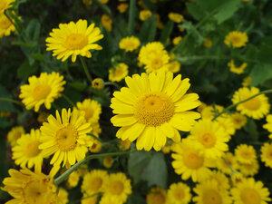 s:травянистые,c:желтые,соцветия - корзинки,l:с зубчатым краем