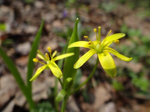Гусиный лук желтый (Gagea lutea) Автор фото: Привалова Марина