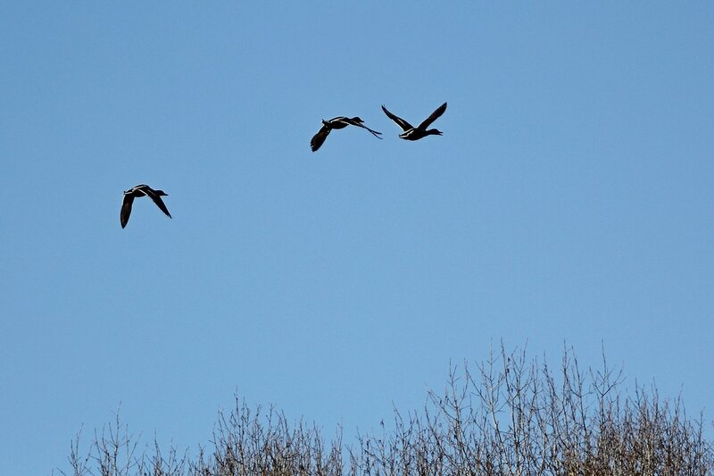 Три утки летят над озером Просным
