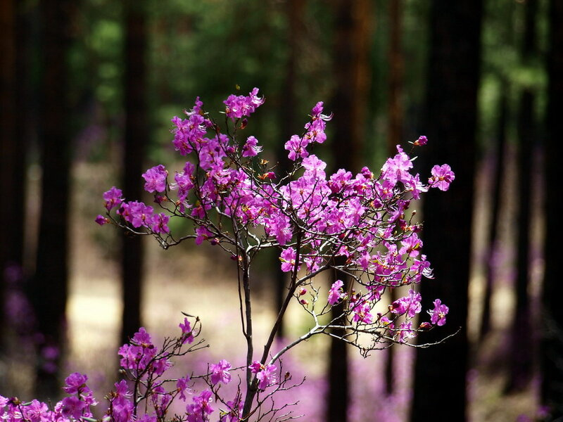 Цветение багульника(5)