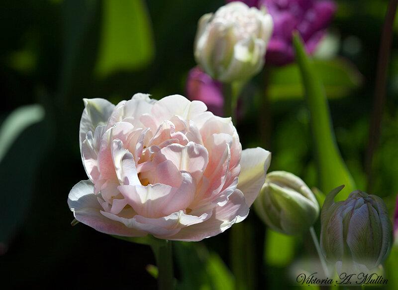 Tulip-Double Late Angelique