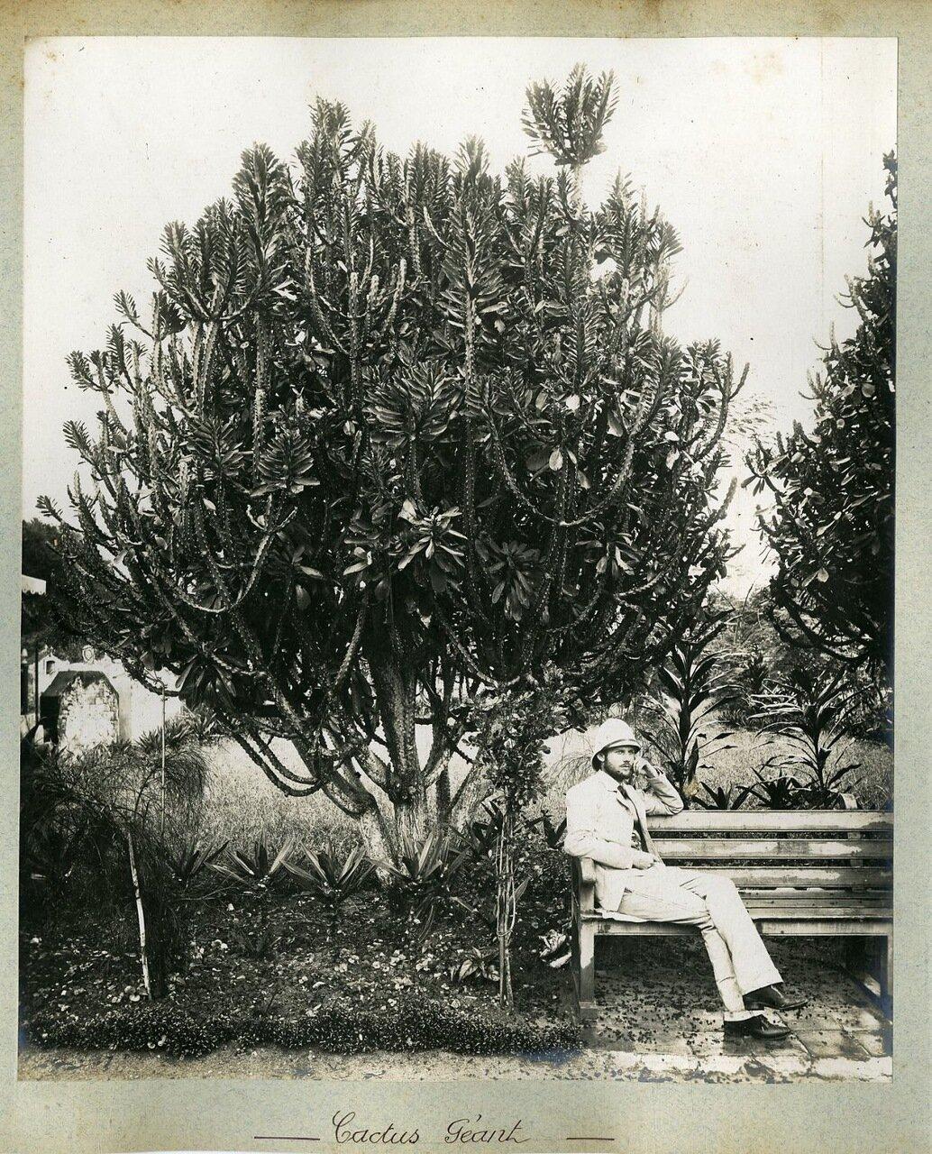 Гигантский кактус