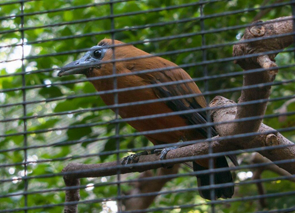 Птица-капуцин