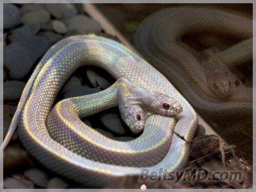 Один раз на миллион встречается Двухголовая змея