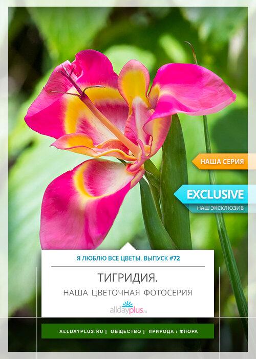 Я люблю все цветы, выпуск 72 | Тигридия.