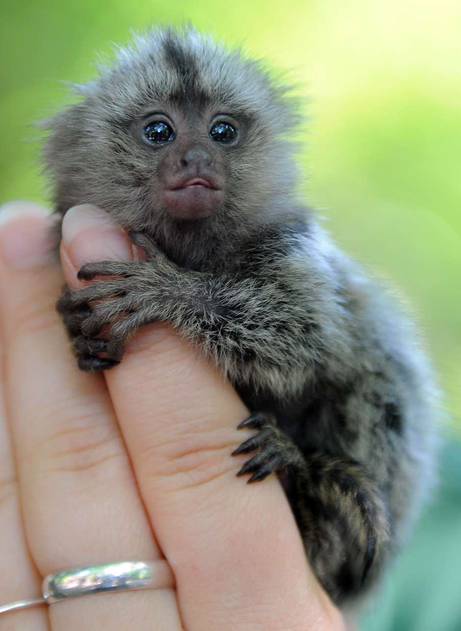 A newly born marmoset sits on the hand o
