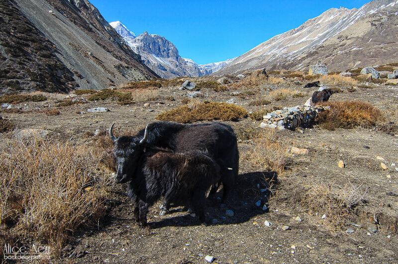 Пресловутые хрюкающие яки, гималаи, тибет, непал