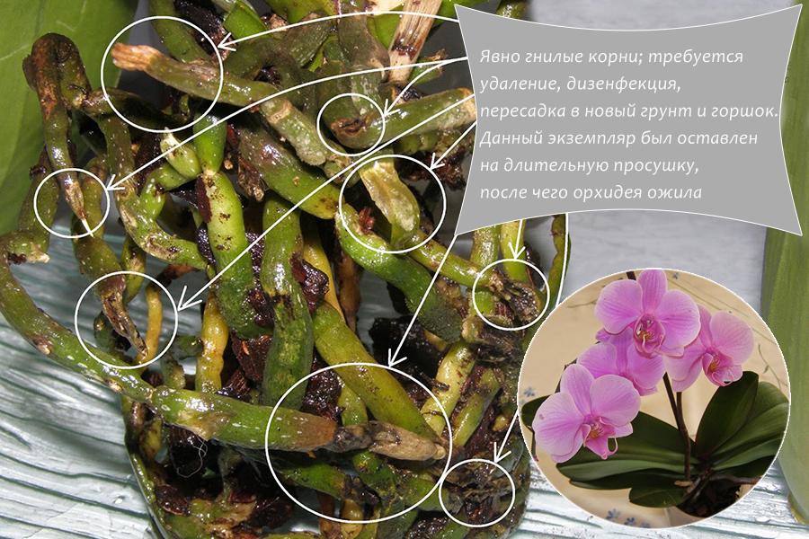 Корни орхидеи в пятнах и гниют, какие фунгициды помогут