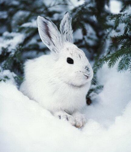 заяц белый