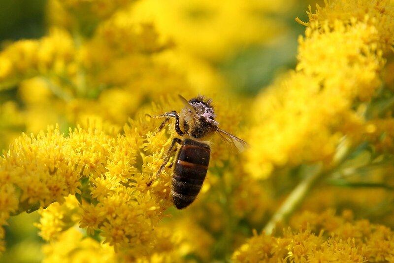 Пыльцевые зерна, напоминающие икру на спине пчелы, собирающей нектар с цветков северной мимозы 7136
