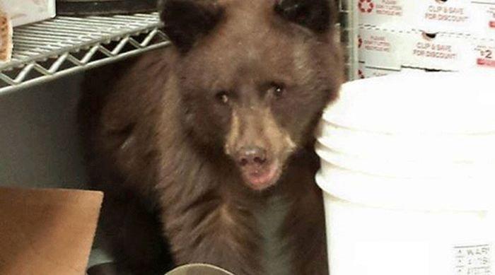 Медвежонок проник в пиццерию и уснул прямо на кухне