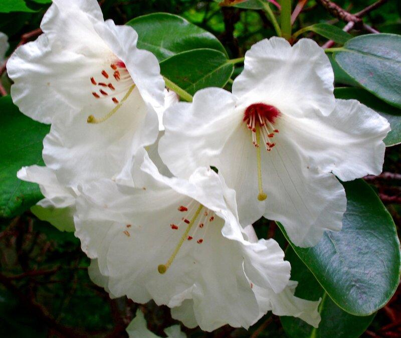 Рододендрон белый