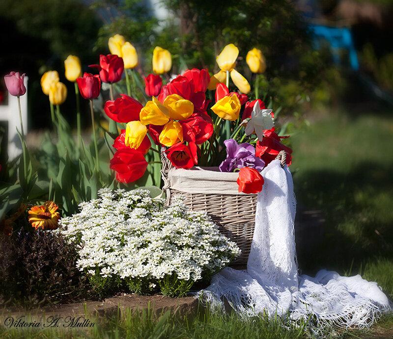 Майское утро с тюльпанами-5556-58