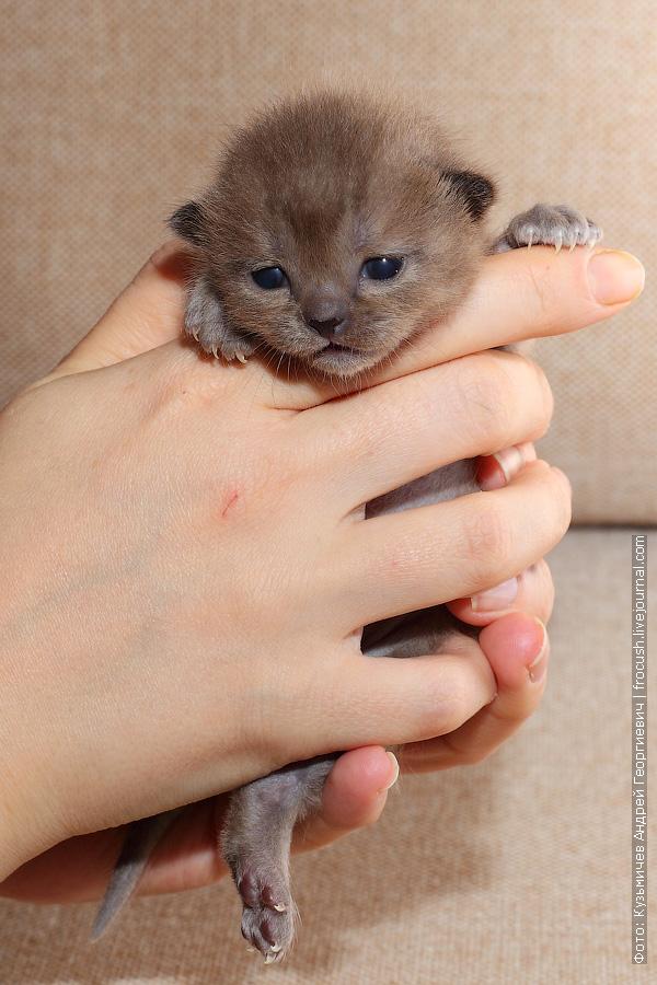 Бомбей продажа котят